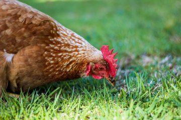 Elevage de poulet